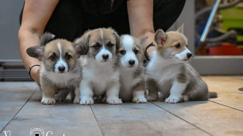 Puppies Kitana